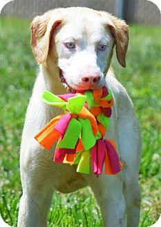 Spaniel (Unknown Type)/Husky Mix Dog for adoption in Lincolnton, North Carolina - Angel