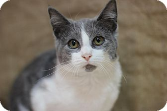 Domestic Shorthair Kitten for adoption in Midland, Michigan - Schmo