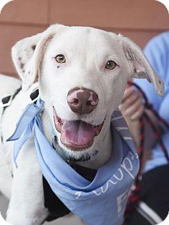 Dalmatian/Labrador Retriever Mix Dog for adoption in Chattanooga, Tennessee - Van Bellamy