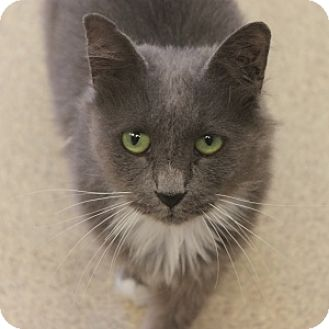 Domestic Longhair Cat for adoption in Naperville, Illinois - Nema