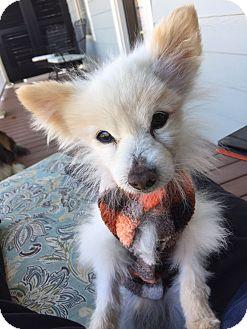 Pomeranian Mix Dog for adoption in Marietta, Georgia - Tom the Pom