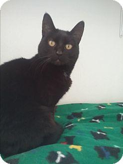 Domestic Mediumhair Cat for adoption in Colville, Washington - Bonnie