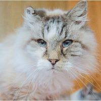 Siamese Cat for adoption in Corinne, Utah - Linus