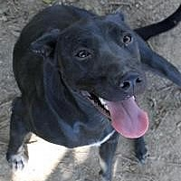 Labrador Retriever Dog for adoption in Memphis, Tennessee - Sweetie Pie