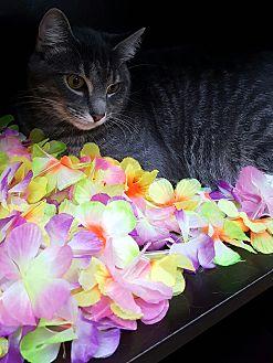 Egyptian Mau Kitten for adoption in Albemarle, North Carolina - Michael