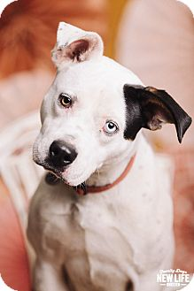 Pit Bull Terrier/Husky Mix Dog for adoption in Portland, Oregon - Ziggy