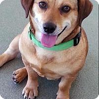Adopt A Pet :: Cinnamon - Charlottesville, VA