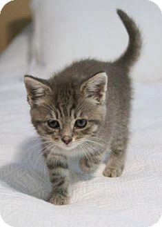 Domestic Shorthair Kitten for adoption in Herndon, Virginia - Lola