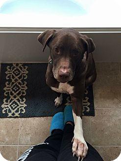 Labrador Retriever Mix Dog for adoption in Lewisville, Texas - Doc