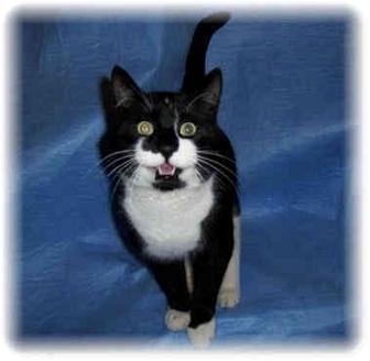 Domestic Shorthair Cat for adoption in Brighton, Michigan - Tux