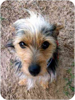 Yorkie, Yorkshire Terrier Mix Dog for adoption in Gun Barrel, Texas - Scruffy