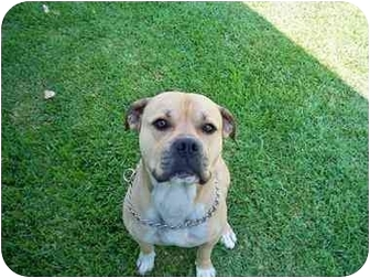 American Bulldog Dog for adoption in Poway, California - RASCAL
