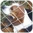Photo 1 - Beagle Dog for adoption in Indianapolis, Indiana - Buzz