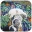 Photo 1 - Australian Shepherd/Basset Hound Mix Puppy for adoption in Eaton, Indiana - puppies
