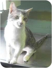 Domestic Shorthair Cat for adoption in Honesdale, Pennsylvania - Rafiki