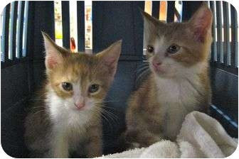 Domestic Shorthair Kitten for adoption in Plymouth, Massachusetts - Lola and Bubba