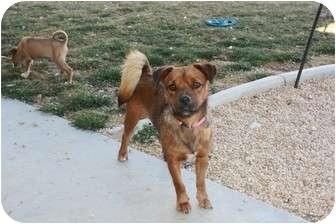 Border Terrier Mix Dog for adoption in California City, California - Maggie & Babies (BG & Mugsy)