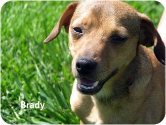 Chihuahua/Dachshund Mix Puppy for adoption in Gallatin, Tennessee - Brady