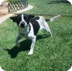 Rat Terrier Mix Dog for adoption in Tustin, California - Tessie