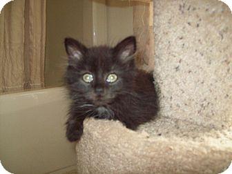 Domestic Longhair Kitten for adoption in Dover, Ohio - Monk