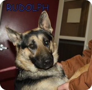 German Shepherd Dog Dog for adoption in Greeneville, Tennessee - Rudolph