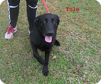 Labrador Retriever Mix Puppy for adoption in Slidell, Louisiana - Yule