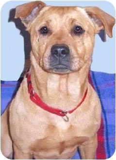 Staffordshire Bull Terrier/Labrador Retriever Mix Dog for adoption in Grass Valley, California - Honey