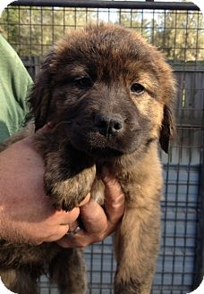 Chow Chow Mix Puppy for adoption in Gainesville, Florida - Macon