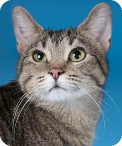 Domestic Shorthair Cat for adoption in Chicago, Illinois - Charlene