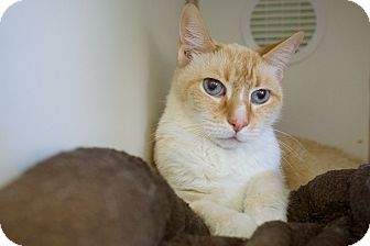 Domestic Shorthair Cat for adoption in Houston, Texas - Chalupa