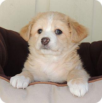 Cocker Spaniel/Spaniel (Unknown Type) Mix Puppy for adoption in La Habra Heights, California - Ron