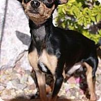 Adopt A Pet :: Manifold - Gilbert, AZ