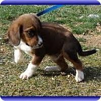Adopt A Pet :: Zues - Brattleboro, VT