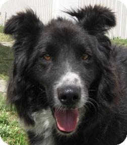 Border Collie Mix Dog for adoption in Bonners Ferry, Idaho - Dewey