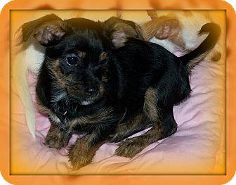 Shih Tzu/Chihuahua Mix Puppy for adoption in Urbana, Ohio - Lang