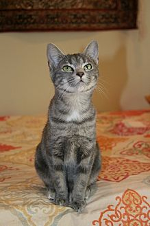 Domestic Shorthair Cat for adoption in Bryson City, North Carolina - Mindy