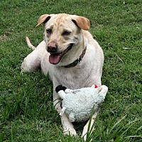 Labrador Retriever Mix Dog for adoption in Sarasota, Florida - Charlee