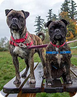 Pug Mix Dog for adoption in Bellingham, Washington - Shrek