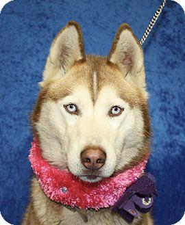 Siberian Husky Mix Dog for adoption in Jackson, Michigan - Juno