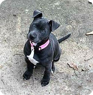 Pit Bull Terrier/Labrador Retriever Mix Puppy for adoption in Fulton, Missouri - Dixie - Alabama