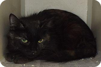 Domestic Shorthair Cat for adoption in Cheboygan, Michigan - Franklin