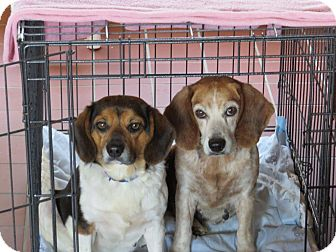 Beagle Mix Dog for adoption in Glenwood, Minnesota - Lucy & Ethel