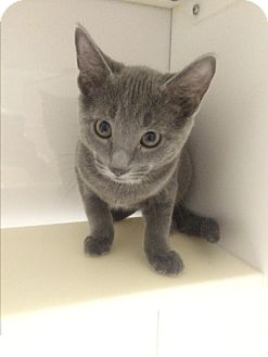 Domestic Shorthair Kitten for adoption in Richboro, Pennsylvania - Stimpy