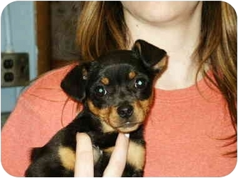 Beagle/Terrier (Unknown Type, Small) Mix Puppy for adoption in Mason City, Iowa - Tanya
