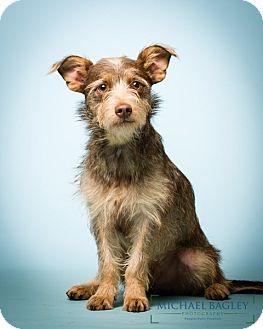 Schnauzer (Miniature) Mix Dog for adoption in Norwalk, Connecticut - Mason - MEET ME
