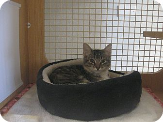 Domestic Mediumhair Kitten for adoption in Brea, California - MIA