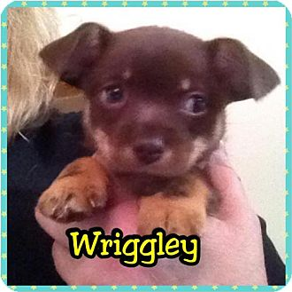 Terrier (Unknown Type, Medium)/Rat Terrier Mix Puppy for adoption in Capistrano Beach, California - Wriggly