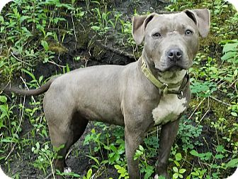 American Pit Bull Terrier Mix Dog for adoption in West Allis, Wisconsin - Athena **Courtesy Cupid**