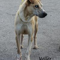 Adopt A Pet :: Yeller - Madisonville, TN