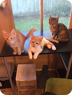 Domestic Shorthair Kitten for adoption in Tarboro, North Carolina - Leopold, Leonardo & Lilith